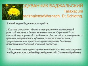 ОДУВАНЧИК БАДЖАЛЬСКИЙ Taraxacum badzhalenseWorosch. Et Schlothq. Узкий эндем