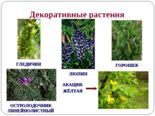 Декоративные растения ГОРОШЕК ЛЮПИН ГЛЕДИЧИЯ ОСТРОЛОДОЧНИК ЛИНЕЙНОЛИСТНЫЙ АКА