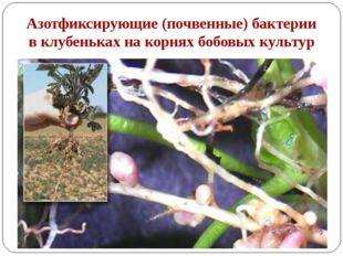 Азотфиксирующие (почвенные) бактерии в клубеньках на корнях бобовых культур К