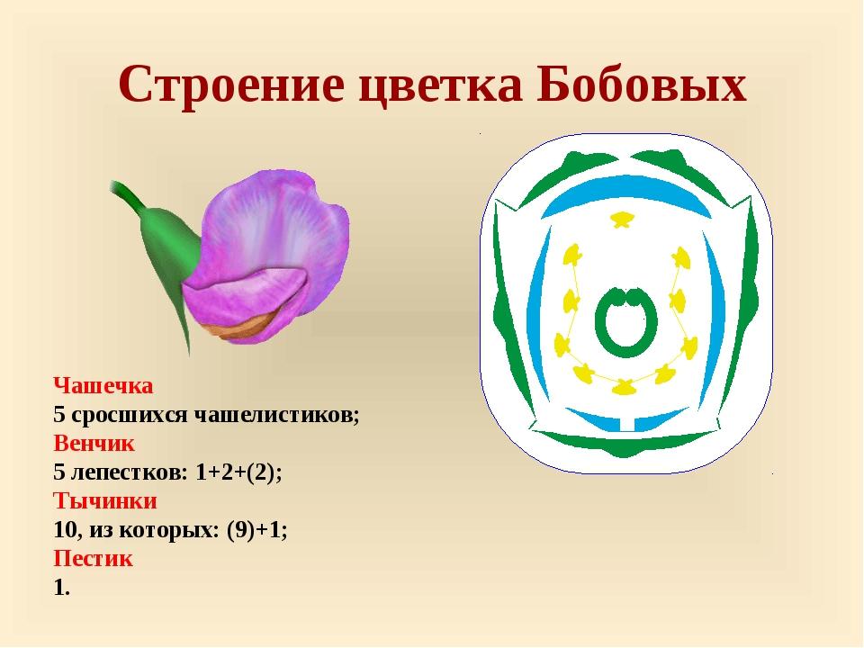 Строение цветка Бобовых Чашечка 5 сросшихся чашелистиков; Венчик 5 лепестков:...