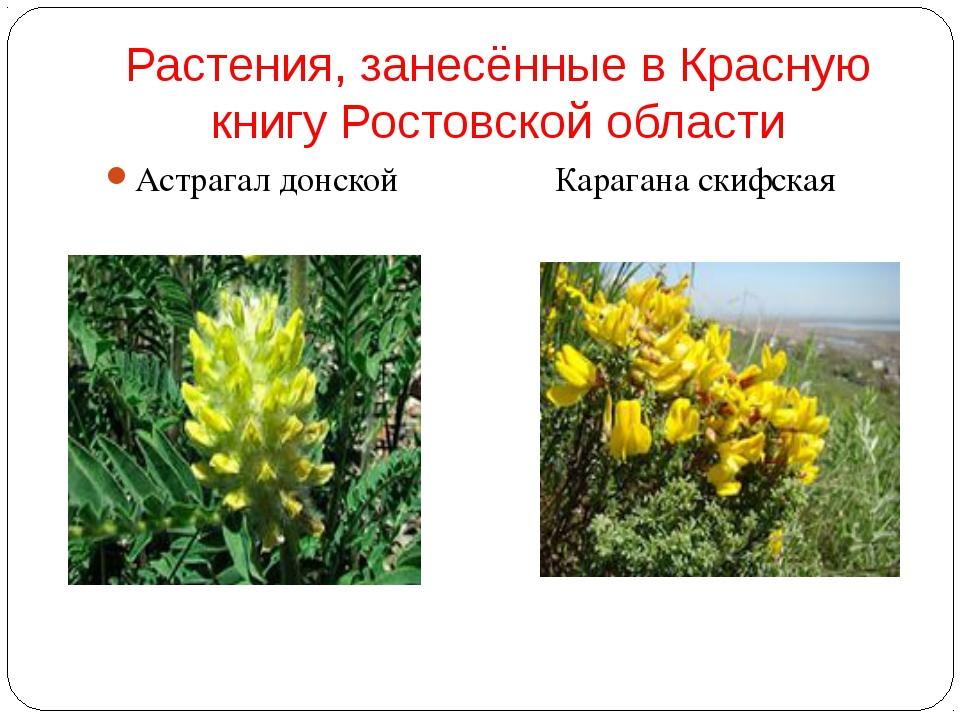 Растения, занесённые в Красную книгу Ростовской области Астрагал донской Кар...
