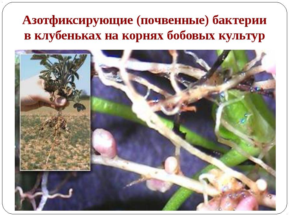 Азотфиксирующие (почвенные) бактерии в клубеньках на корнях бобовых культур К...