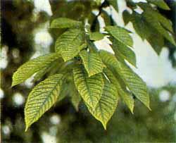Ветви черешни (Cerasus avium) в начальной стадии недостатка железа.