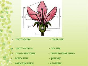- цветоложе - пыльник - цветоножка - пестик - околоцветник - тычиночная нить