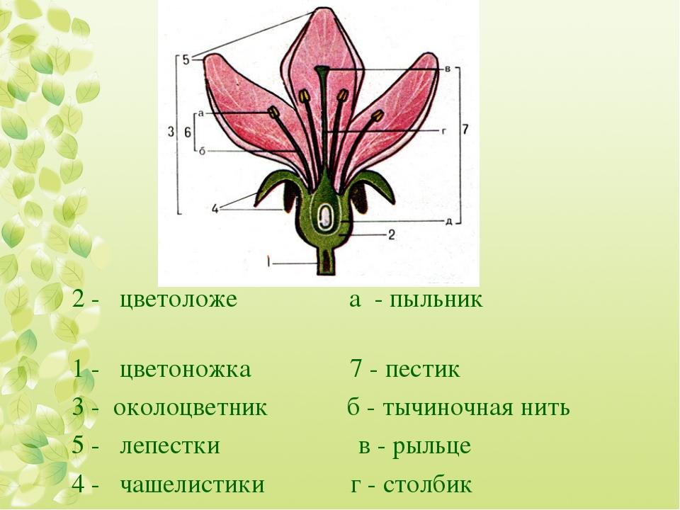 2 - цветоложе а - пыльник 1 - цветоножка 7 - пестик 3 - околоцветник б - тыч...