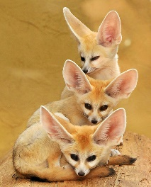 http://www.furrytalk.com/wp-content/uploads/fennec_foxes/7.jpg