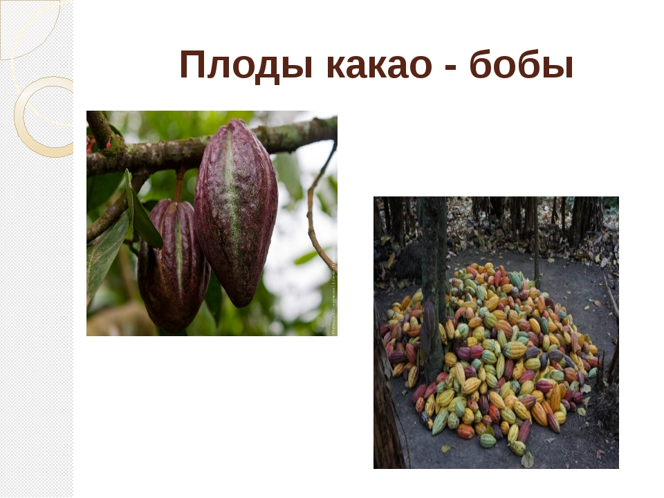 Плоды какао - бобы
