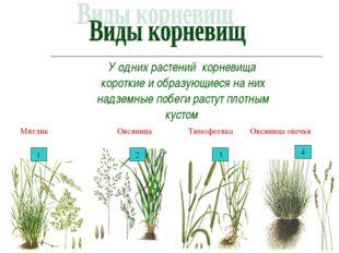 У одних растений корневища короткие и образующиеся на них надземные побеги