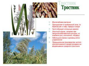 Влаголюбивое растение Произрастает в прибрежной зоне, по берегам рек и озер,