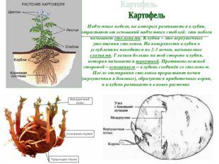 И.А. Подземные побеги, на которых развиваются клубни, отрастают от оснований
