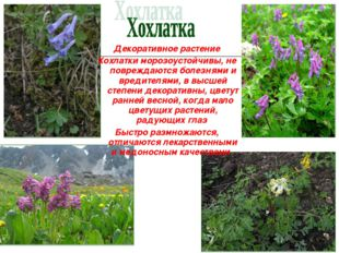 Декоративное растение Хохлатки морозоустойчивы, не повреждаются болезнями и в