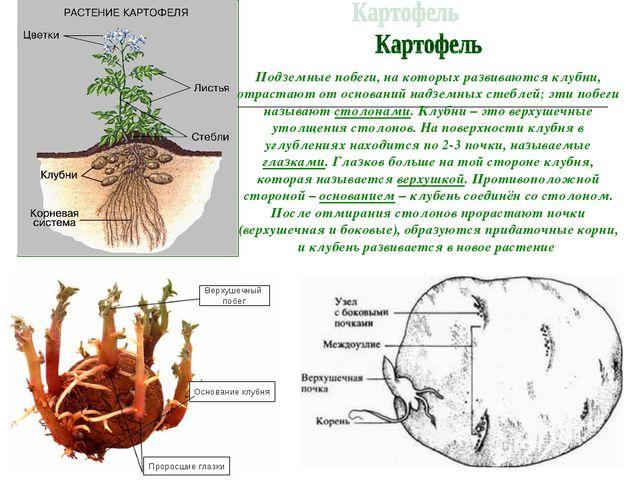И.А. Подземные побеги, на которых развиваются клубни, отрастают от оснований...