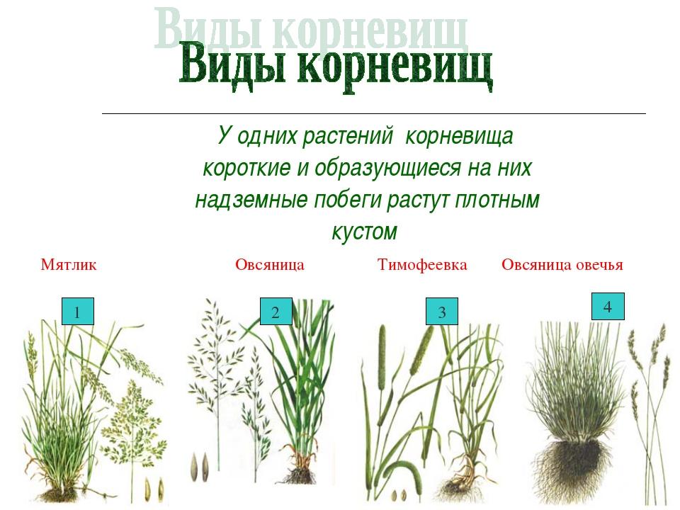У одних растений корневища короткие и образующиеся на них надземные побеги...