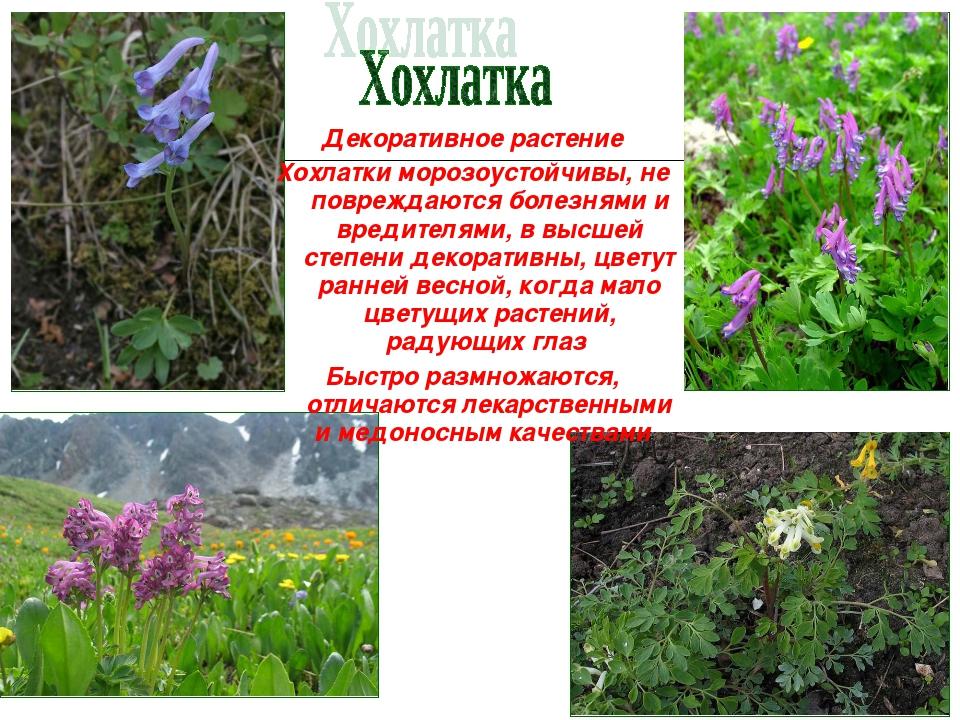 Декоративное растение Хохлатки морозоустойчивы, не повреждаются болезнями и в...