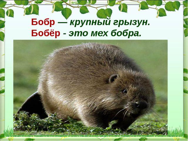 Бобр— крупный грызун. Бобёр - это мех бобра.