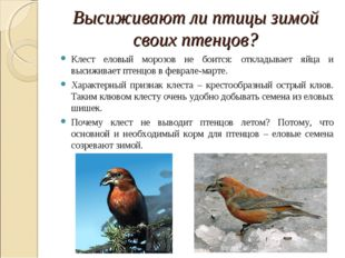 Высиживают ли птицы зимой своих птенцов? Клест еловый морозов не боится: откл