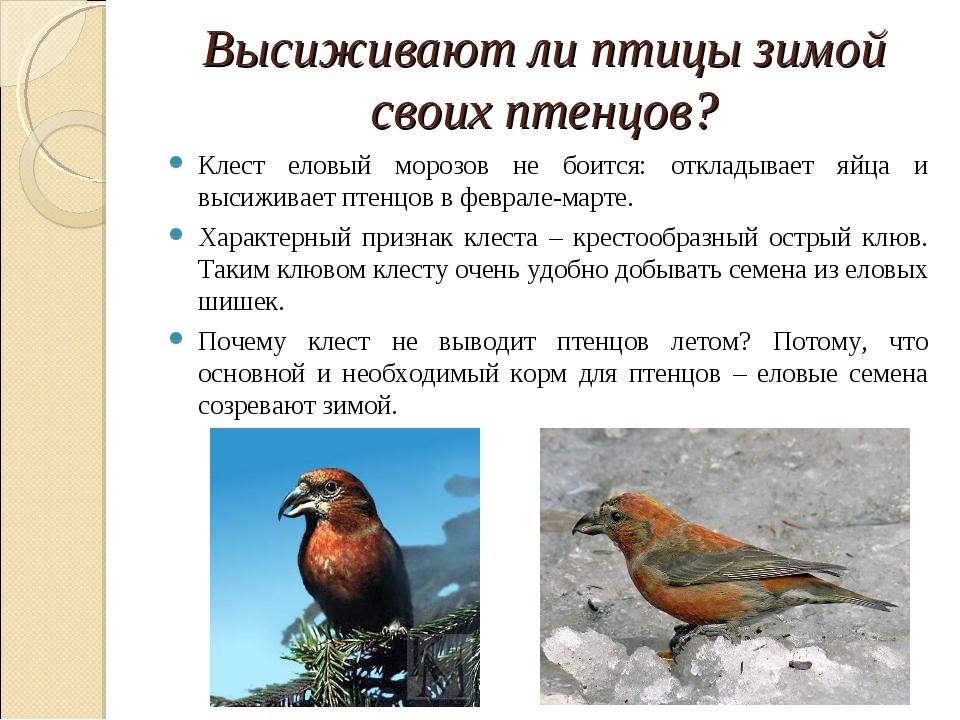 Высиживают ли птицы зимой своих птенцов? Клест еловый морозов не боится: откл...