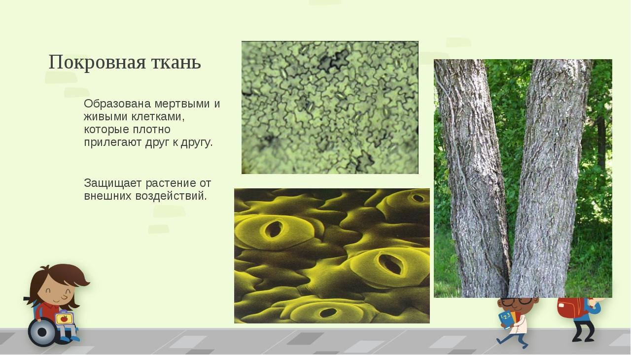 Покровная ткань Образована мертвыми и живыми клетками, которые плотно прилега...