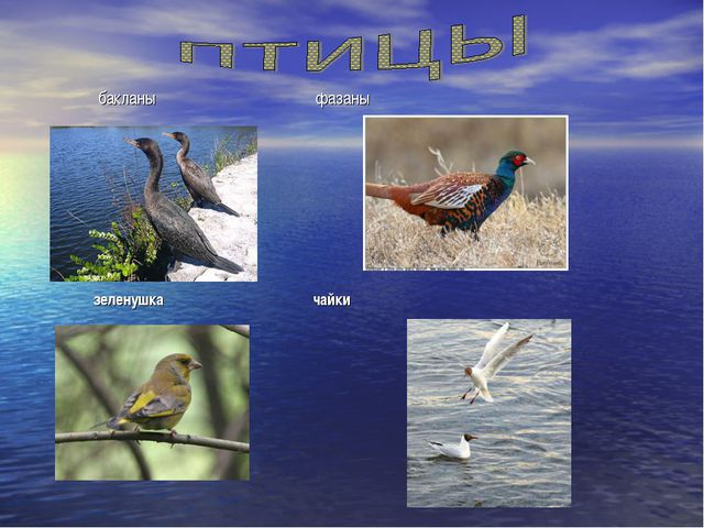 бакланы фазаны зеленушка чайки