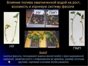 Вывод: листья фасоли, поливаемой омагниченной водой с ярко выраженной окраско