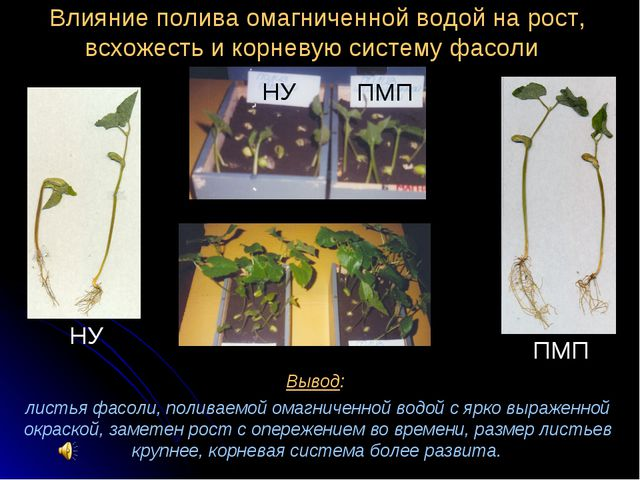 Вывод: листья фасоли, поливаемой омагниченной водой с ярко выраженной окраско...
