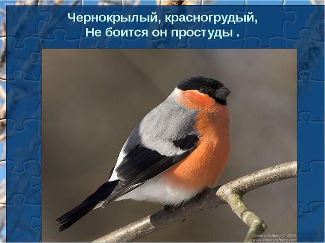 Чернокрылый, красногрудый, Небоится онпростуды.