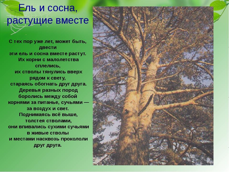 Ель и сосна, растущие вместе С тех пор уже лет, может быть, двести эти ель и...