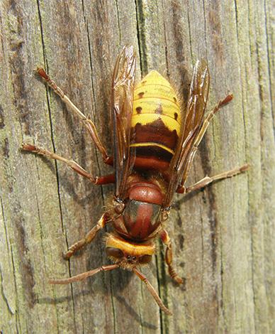 Знакомимся с интересными особенностями жизни шершня обыкновенного (Vespa crabro): нужно ли боятся этого насекомого и бороться с ним?..