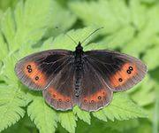 Все форумы Определение бабочек