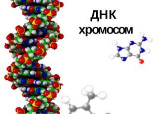 ДНК хромосом