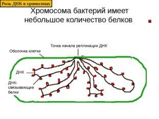 Хромосома бактерий имеет небольшое количество белков Оболочка клетки Точка на
