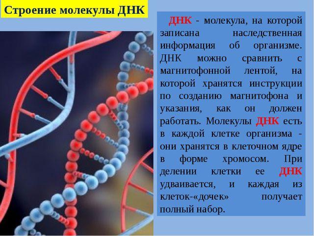 ДНК - молекула, на которой записана наследственная информация об организме....