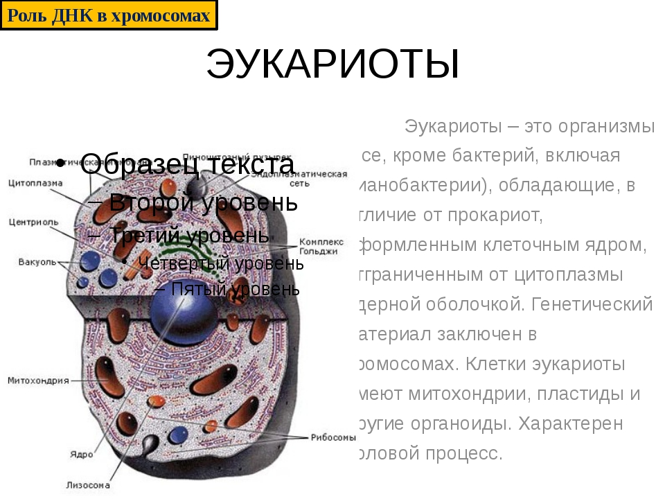 ЭУКАРИОТЫ Эукариоты – это организмы (все, кроме бактерий, включая цианобактер...
