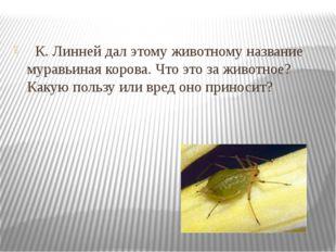 К. Линней дал этому животному название муравьиная корова. Что это за животн