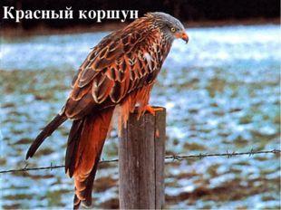 Высматривают добычу с верхнего яруса ястреб сокол сова филин Красный коршун