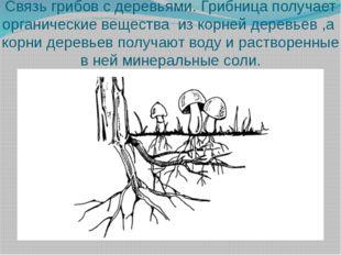 Связь грибов с деревьями. Грибница получает органические вещества из корней д