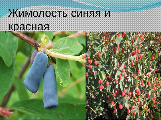 Жимолость синяя и красная