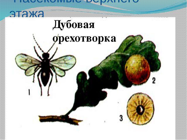 Насекомые верхнего этажа Майский жук Жук-олень Дубовая листовёртка Жёлудевый...