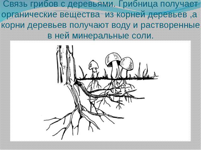 Связь грибов с деревьями. Грибница получает органические вещества из корней д...