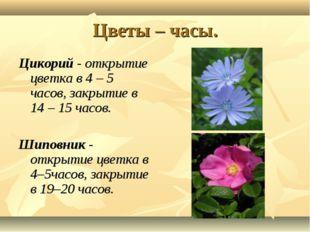 Цветы – часы. Цикорий - открытие цветка в 4 – 5 часов, закрытие в 14 – 15 час