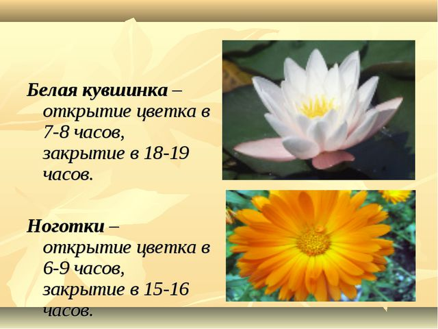 Белая кувшинка – открытие цветка в 7-8 часов, закрытие в 18-19 часов. Ноготк...