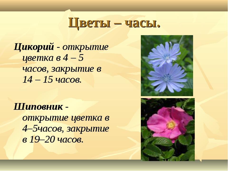 Цветы – часы. Цикорий - открытие цветка в 4 – 5 часов, закрытие в 14 – 15 час...
