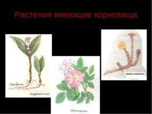 Растения имеющие корневища