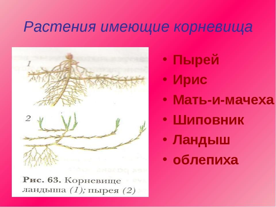 Растения имеющие корневища Пырей Ирис Мать-и-мачеха Шиповник Ландыш облепиха