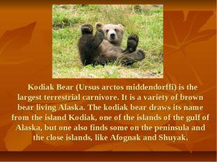 Kodiak Bear (Ursus arctos middendorffi) is the largest terrestrial carnivore