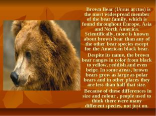 Brown Bear (Ursus arctos) is the most widespread member of the bear family,