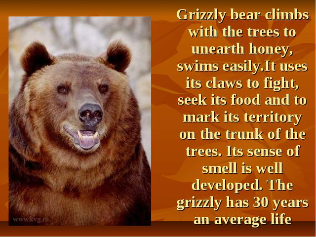 Grizzly bear climbs with the trees to unearth honey, swims easily.It uses it...