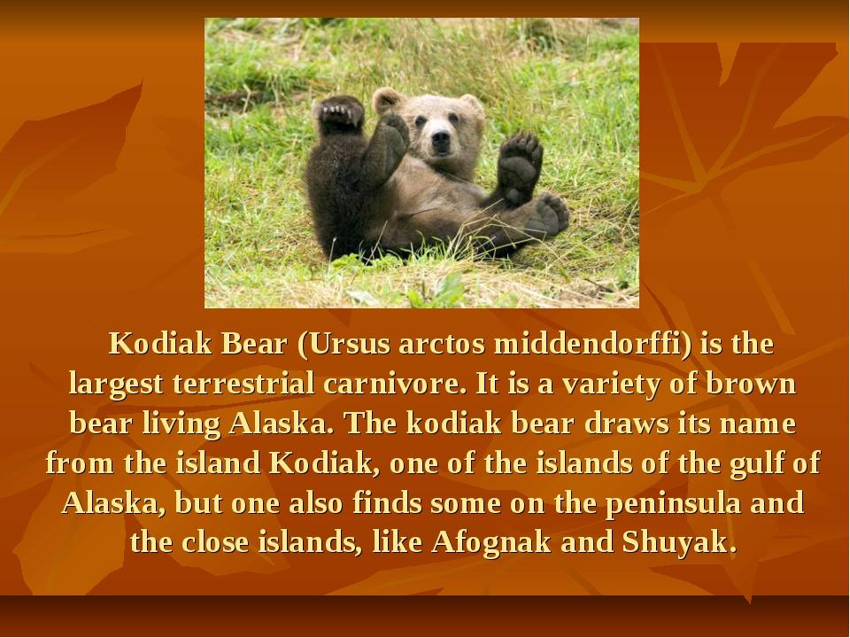Kodiak Bear (Ursus arctos middendorffi) is the largest terrestrial carnivore...