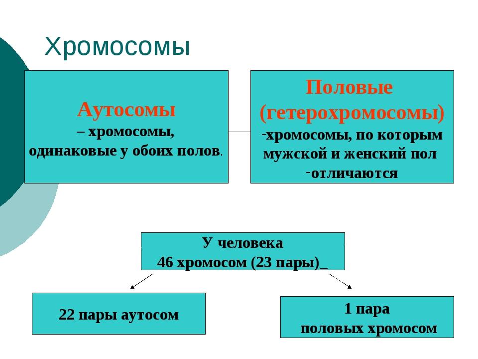 Хромосомы Аутосомы – хромосомы, одинаковые у обоих полов. Половые (гетерохром...