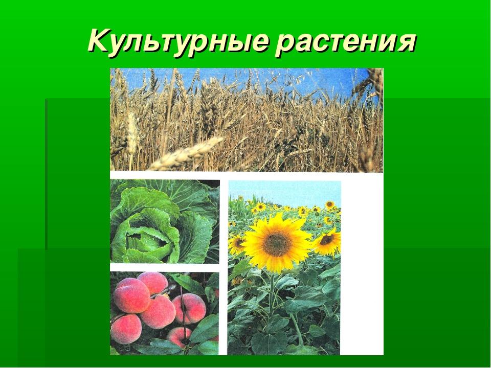Культурные растения примеры фото
